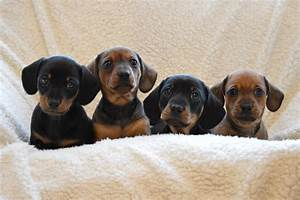 Miniature smooth haired dachshund puppies for sale | Mold ...