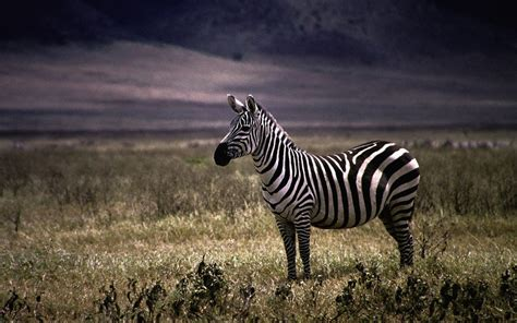 nature animals zebras wallpaper allwallpaperin