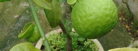 entretien agrumes en pot agrumes culture en bac ou pot entretien des agrumes en pot ou en bac