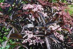 Holunder Black Beauty Essbar : holunder sambucus nigra black beauty pflanze des ~ Michelbontemps.com Haus und Dekorationen