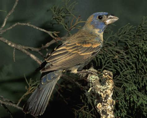 blue grosbeak audubon field guide
