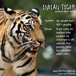 28 best Tiger facts and quotes images on Pinterest | Big ...