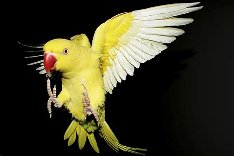 File:Psittacula krameri -yellow mutation -flying-9.jpg ...