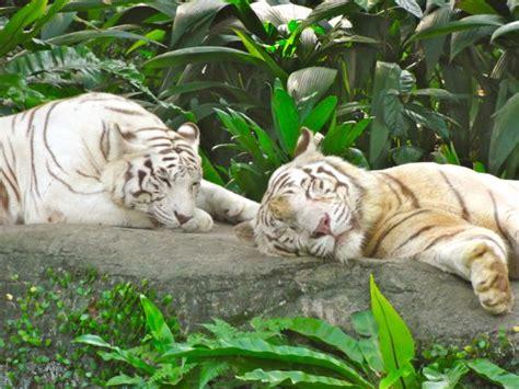 My favorite wild animal tiger essay