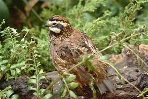 Bobwhite Quail Bird