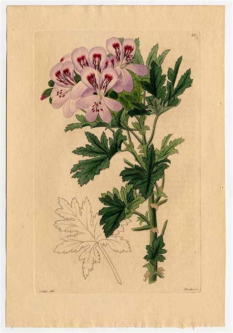 high plant stand geranium essential pelargonium graveolens