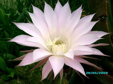 fiori di cactus fiore di cactus foto immagini piante fiori e funghi