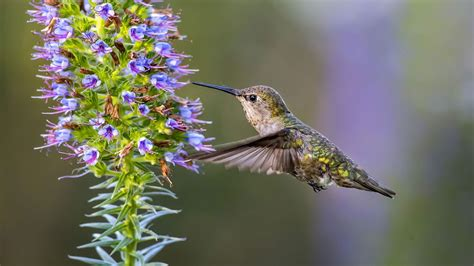 how fast do hummingbirds fly reference com