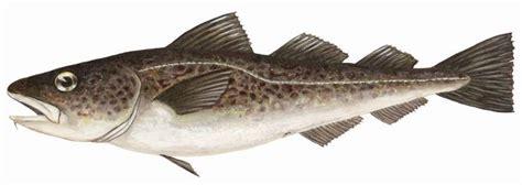 Pacific cod - Jacob Bjørge AS