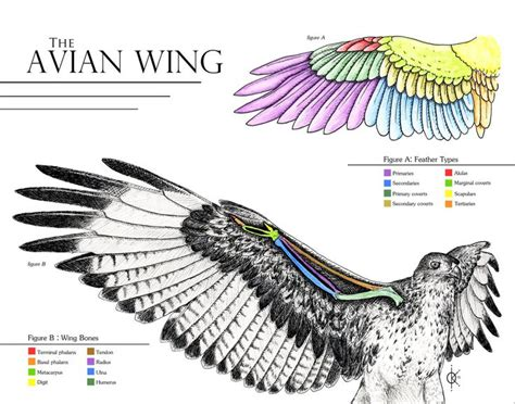 17 best images about wing 17 best images about bird reference on