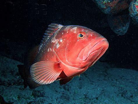 grouper lbs weight fresh