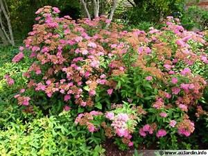 Spiree du japon spiraea japonica conseils de culture for Des plans pour maison 19 spiree du japon spiraea japonica conseils de culture