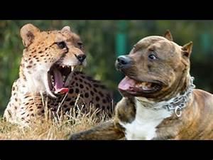 Pit Bull vs Cheetah: Cheetah weight 110 lb., Pit Bull ...