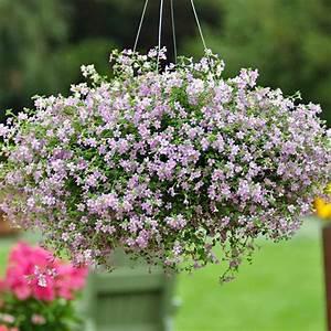 Bacopa Seeds - Bacopa Flowers