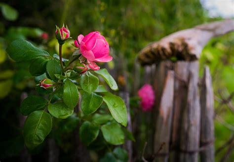 rose bokeh blossom  photo  pixabay
