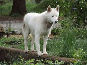 17 Best images about Arctic wolf/dog hybrid on Pinterest ...