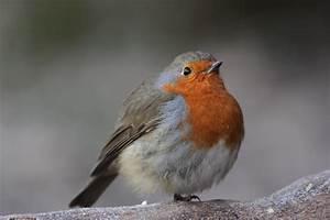 Vogel Mit Roter Brust : singv gel ~ Eleganceandgraceweddings.com Haus und Dekorationen