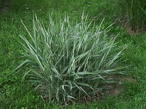 PlantFiles Pictures: Ribbon Grass, Reed Canary Grass ...