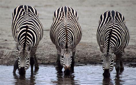 odd toed ungulates zebras animals horses third