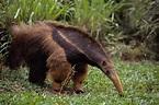 Amazon Rainforest Animals | tamanoir-redi | Rainforest ...