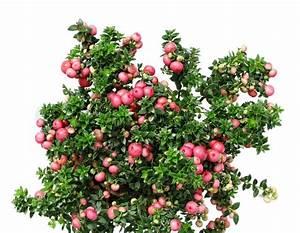 Pflanze Mit Roten Blüten : weihnachten immergr ne pflanze pernettya mit roten beeren auf wei isoliert stockfoto colourbox ~ Eleganceandgraceweddings.com Haus und Dekorationen
