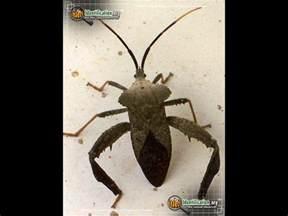 Ants With Wings In Bathroom by Leaf Footed Bug Bug Scientific Name Characteristics