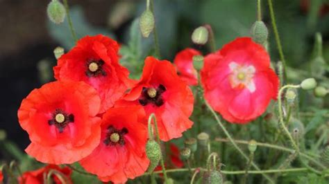 when did poppies become symbol of remembrance the meaning behind flanders poppies stuff co nz