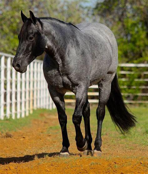 roan horse quarter horses aqha american rare spaniel peptoboonsmal breeds cherokee