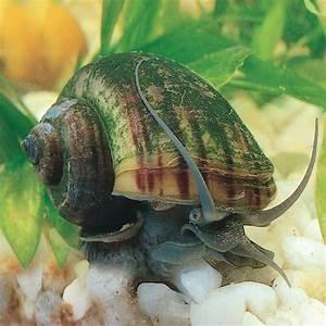 Mystery Snail  Living  Pack Of 3