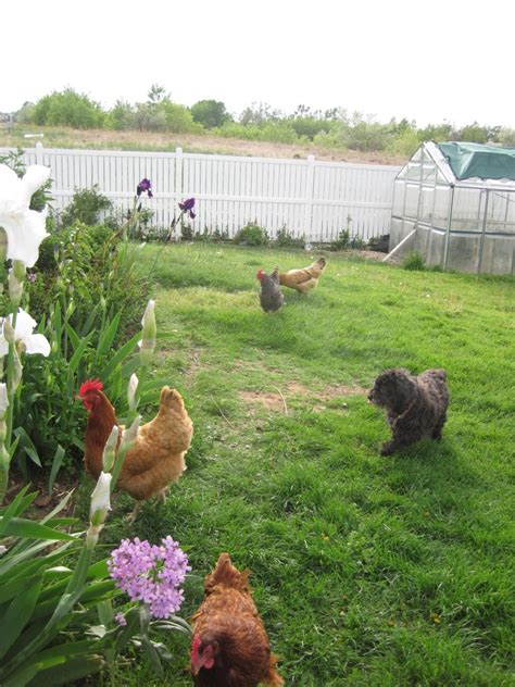 Backyard Animals by Roses And Iris For Backyard Hens Transplanet