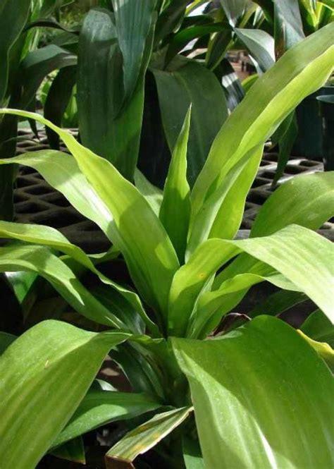 dracaena pflege pflanzenfreunde