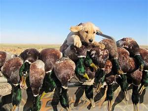 Ducks Unlimited Dog Wallpaper