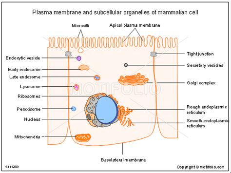Basement Without Windows by Plasma Membrane And Subcellular Organelles Of Mammalian