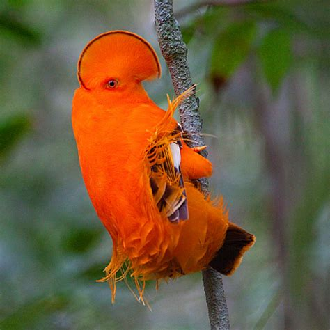 ornithologists map family tree of mysterious cotinga birds