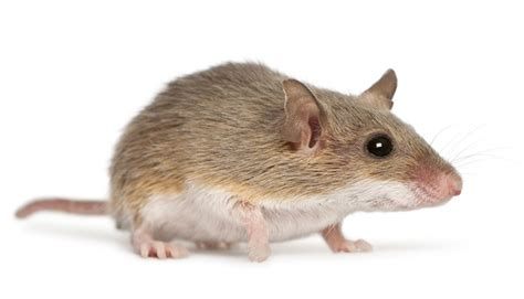 Professional Mice Control Services