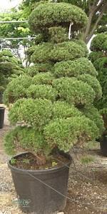 Chinesischer Wacholder Bonsai : juniperus chinensis bonsai chinesischer wacholder ~ Sanjose-hotels-ca.com Haus und Dekorationen
