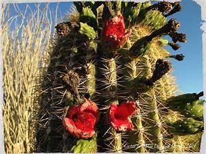 Saguaro Fruit Feast | Cactus Joe's Las Vegas Nursery