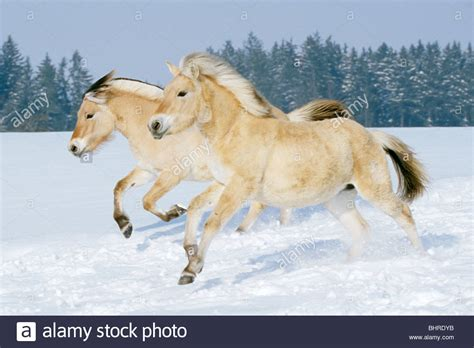 Fjord Pony by Two Norwegian Fjord Horses Galloping In Snow Stock Photo