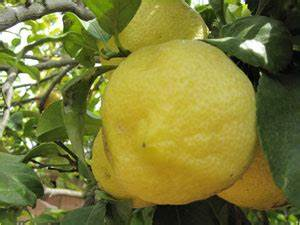 Dünger Für Zitronenbaum : wie berwintert ein zitronenbaum am besten gartendinge ~ Watch28wear.com Haus und Dekorationen