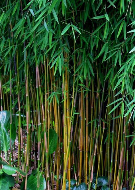 Bambus Der Sich Nicht Ausbreitet by Die Beste Wahl Bambus