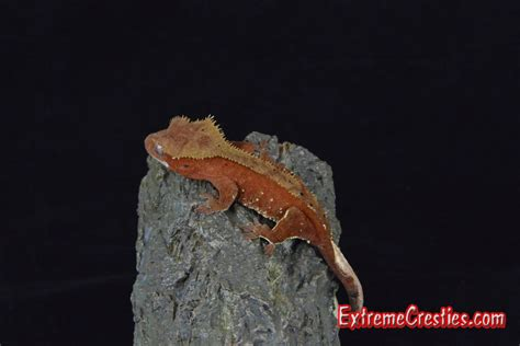 Halloween Crested Gecko by Extreme Cresties Crested Gecko News Centre Home Of High