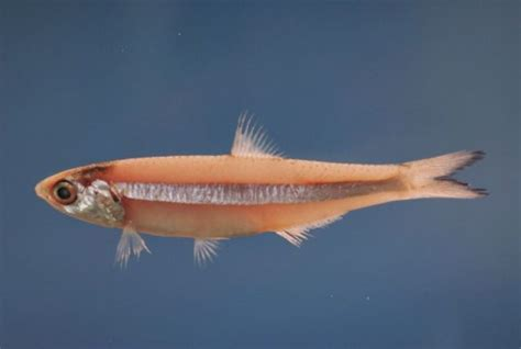 tongkol abu nama nama ikan laut dan gambarnya terlengkap nama nama hewan