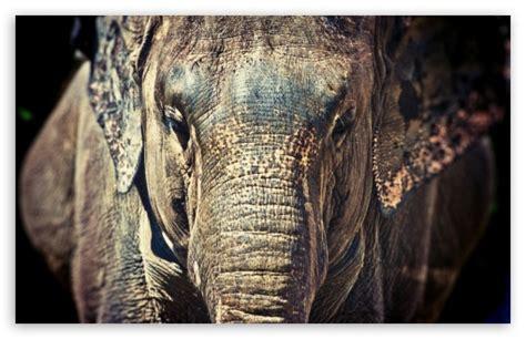 elephant trunk  hd desktop wallpaper   ultra hd tv