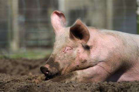 smarter than pig insightful pigs curious intelligent amazingly very years they