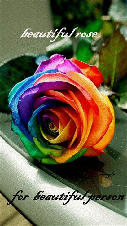 Rose Roses Morning Animated Person Gifs Rainbow