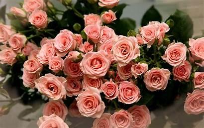 Rose Pink Flower Flowers Wallpapers Roses Desktop