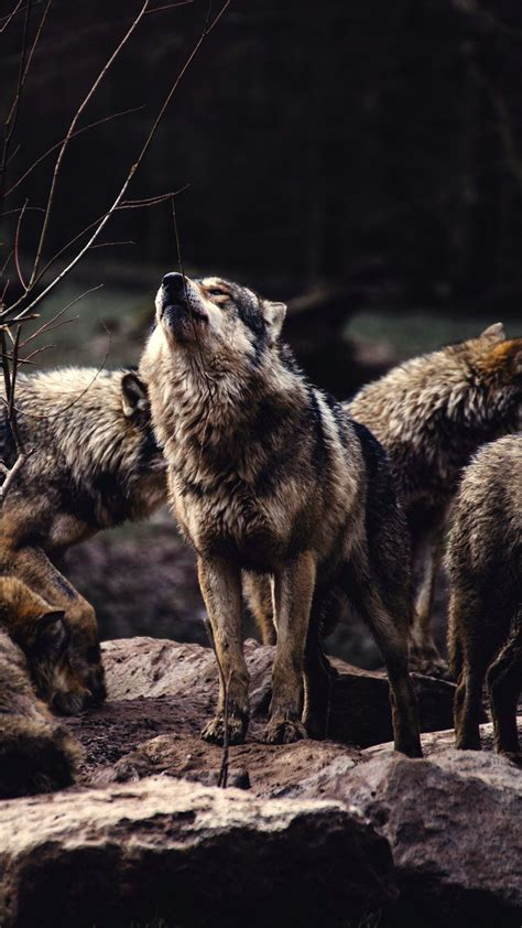 Alpha Wolf Wolf Pack Wallpaper by A Pack Of Wolves The Alpha Prepared To Howl Animal