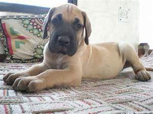 50 Very Cute Great Dane Puppy Images And Pictures