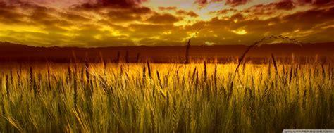 wheat fields wallpaper gallery