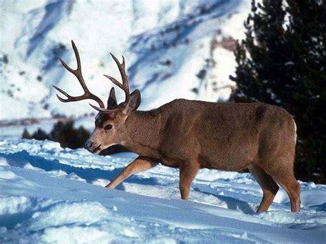 Wallpaper Reindeer wallpaper db reindeer wallpapers